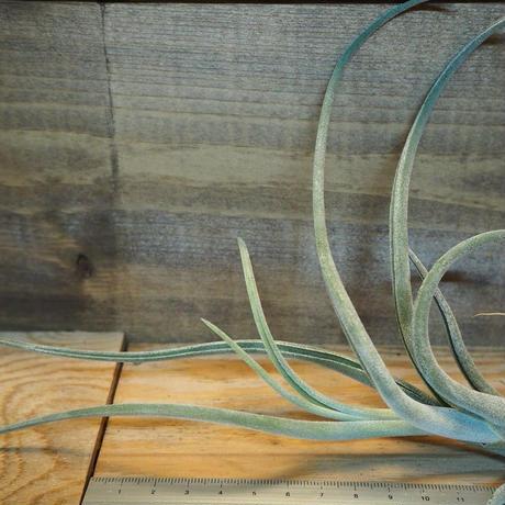 チランジア /  カプトメドーサ × プセウドベイレイ (T.caput-medusae × T.pseudobaileyi) *A01/Dec23
