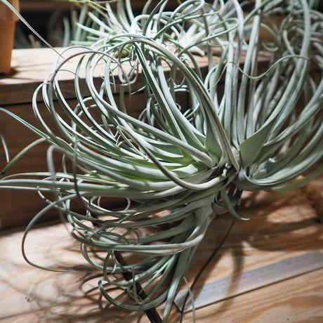 チランジア / デュラティ × ストリクタ (T.duratii × T.stricta) *A01/Nov13
