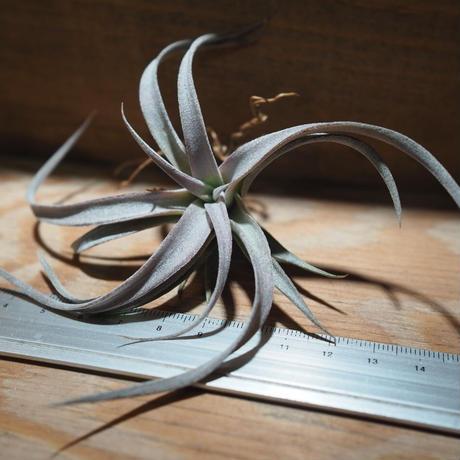 チランジア / チアペンシス M (T.chiapensis) *A01/Mar28