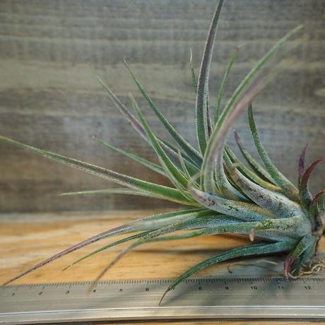 チランジア / プルイノーサ × スカポーサ (T.pruinosa × T.scaposa) *A02/Dec14