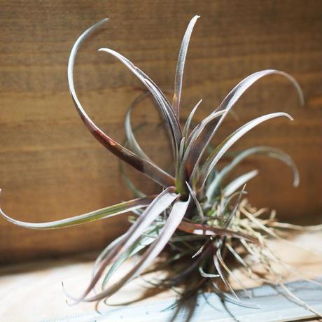 チランジア / カピタータ ドミンゲンシス (T.capitata var. domingensis) *A01/May01