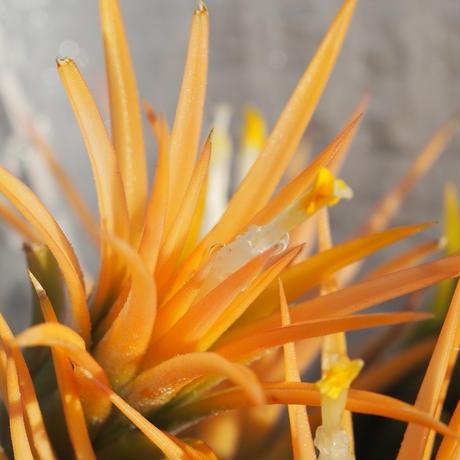 チランジア / イオナンタ ピーチ ホワイトフラワー (T.ionantha 'Peach White Flower') *A01/Apr25