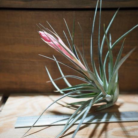 チランジア / ストリクタ パープルレイン (T.stricta 'Purple Rain') *A01/Mar20