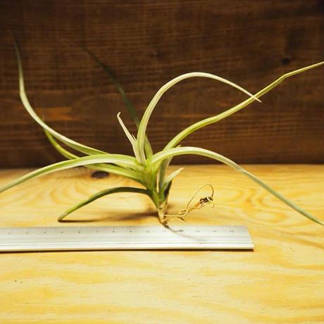 チランジア / カリギノーサ (T.caliginosa) *A02/Ju30