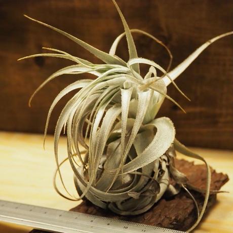 チランジア / ガルドネリー ルピコラ (T.gardneri var. rupicola) *A02/J04