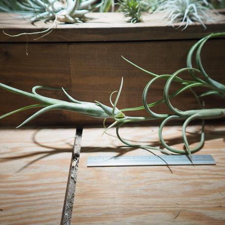 チランジア / インターメディア ラージフォーム (T.intermedia 'Large form') *A01/Mar09