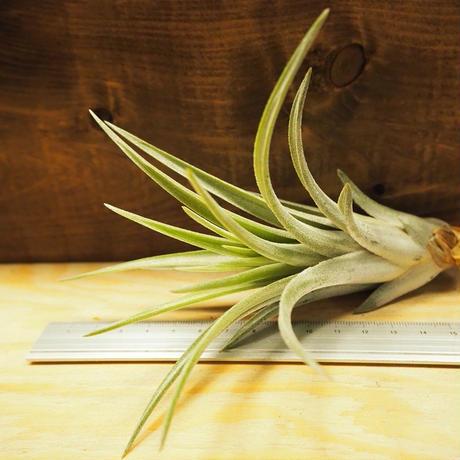 チランジア / チアペンシス × ミトラエンシス (T.chiapensis × T.mitlaensis) *A02/J29