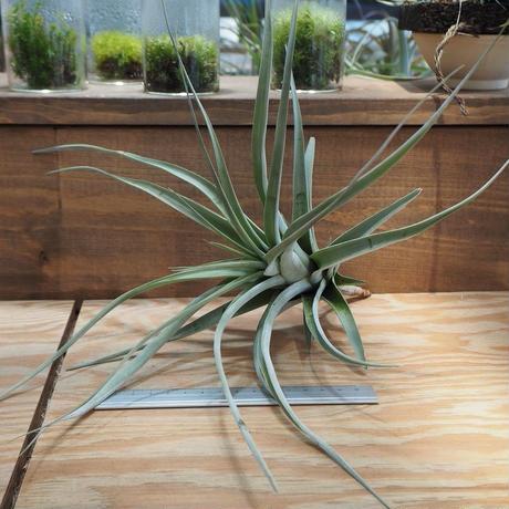 チランジア / セレイコラ (T.cereicola) *A01/Jun20
