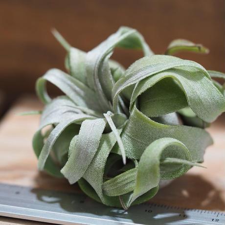 チランジア / ストレプトフィラ mini (T.streptophylla) *A01/Aug27-01