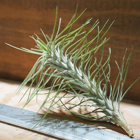 チランジア / フンキアナ レクルヴィフォリア (T.funkiana var. recurvifolia) ★タイ農場 *A01/Dec19