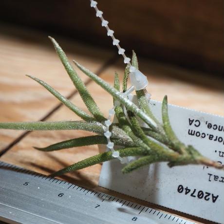 チランジア / カピラリス ジャイアントフォーム (T.capillaris 'Giant Form') *A01/Jan14