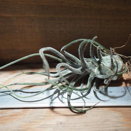 チランジア / プルイノーサ (T.pruinosa) *A01/Nov23