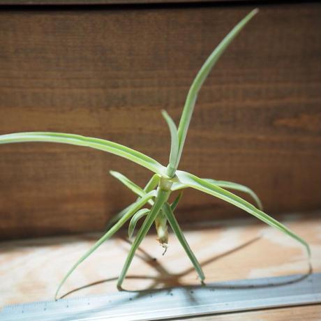 チランジア / デュラティ S (T.duratii) *A01/Mar29