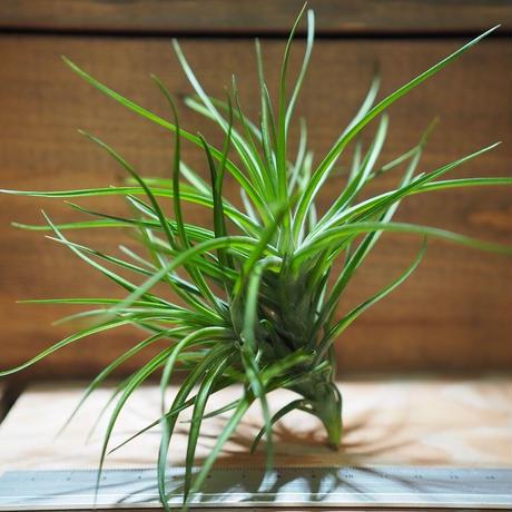 チランジア / モンタナ CL (T.montana) *A01/Oct02