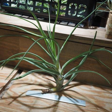 チランジア / ノバキー L (T.novakii) *A01/Sep01