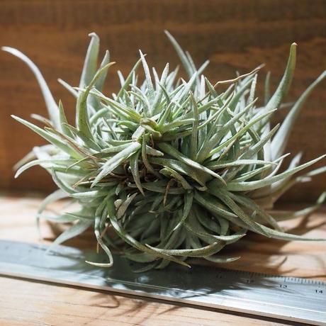 チランジア / カピタータ モーブ CL (T.capitata 'Mauve') *A01/Dec20