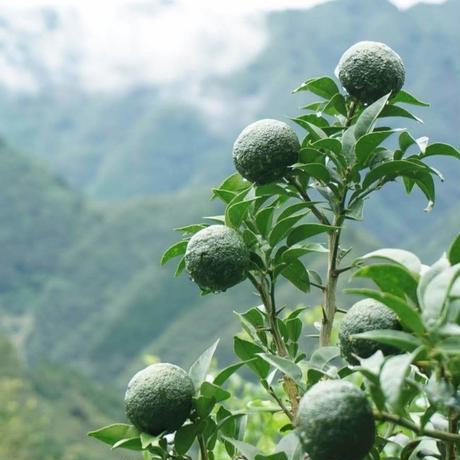 【ワケあり】天空の青柚子 5kg