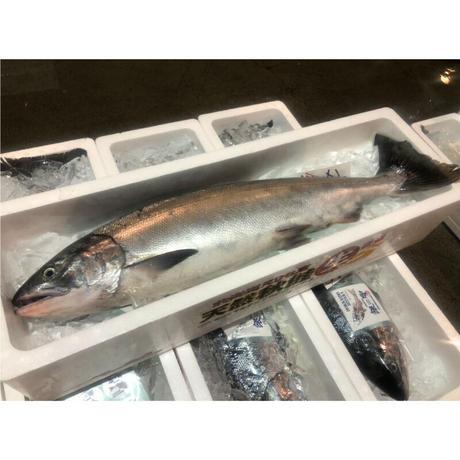 【鮮魚】日の出本田水産「秋鮭 オス」《送料無料》(沖縄・離島を除く)