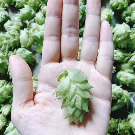 お試し乾燥ホップ10g (信州早生)  Shinshu wase  dry hop 10g