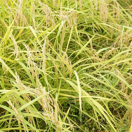 【送料無料】雲潤の里のおいしいお米(令和元年産 特別栽培米にこまる)3㎏