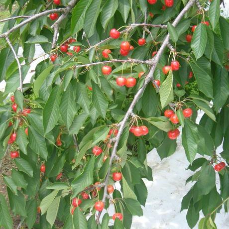 29年度産:佐藤錦(A)【収穫量約15Kg】「さくらんぼの木」オーナー募集!
