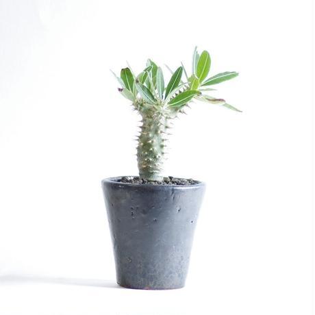 パキポディウム  グラキリウスPachypodium rosulatum var. gracilius