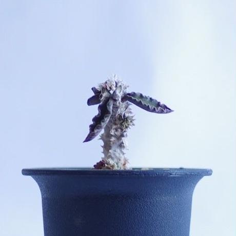 ユーフォルビア デカリー ちび花キリン Euphorbia decaryi
