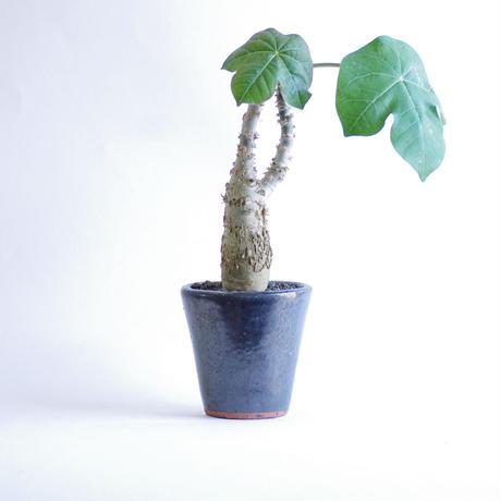 ヤトロファ ポダクリカ サンゴ油桐 jatropha podagrica