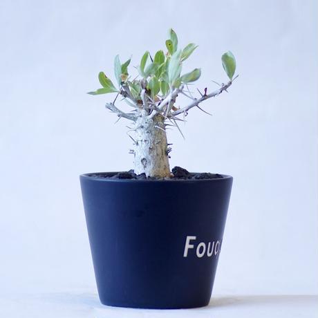 フォークイエリア コルムナリス 観峰玉 Fouquieria columnaris