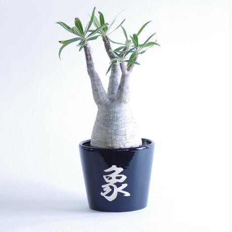 パキポディウム グラキリスPachypodium rosulatum var. gracilius