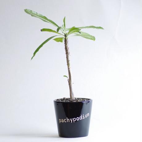 パキポディウム ルーテンベルギアナムPachypodium rutenbergianum