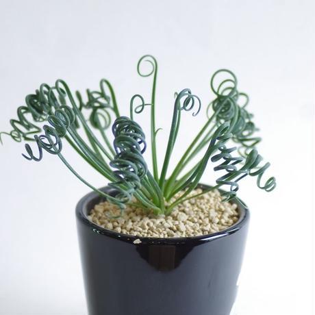 アルブカ スピラリス Albuca spiralis