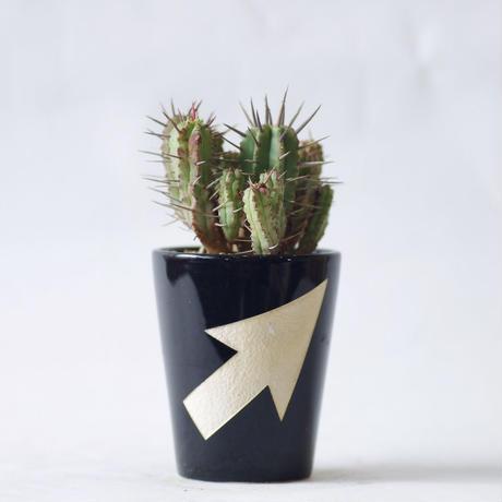 ユーフォルビア フェロックス  Euphorbia ferox
