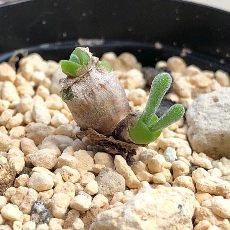 05.モニラリア ピシフォルミス Monilaria pisiformis