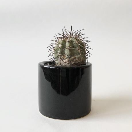 コピアポア 黒王丸 Copiapoa cinerea