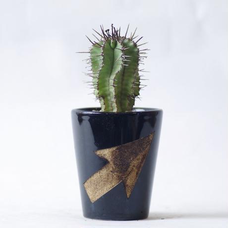 ユーフォルビア ポリゴナ Euphorbia polygona