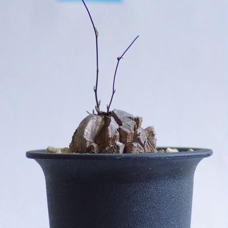 ディオスコレア エレファンティペス 亀甲竜 Dioscorea elephantipes
