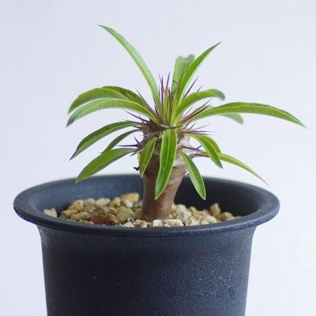 パキポディウム フィフェレネンセ Pachypodium fiherenense