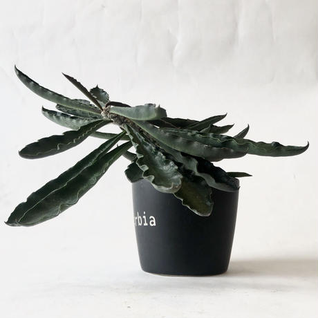 ユーフォルビア アンボボンベンシス Euphorbia ambovombensis