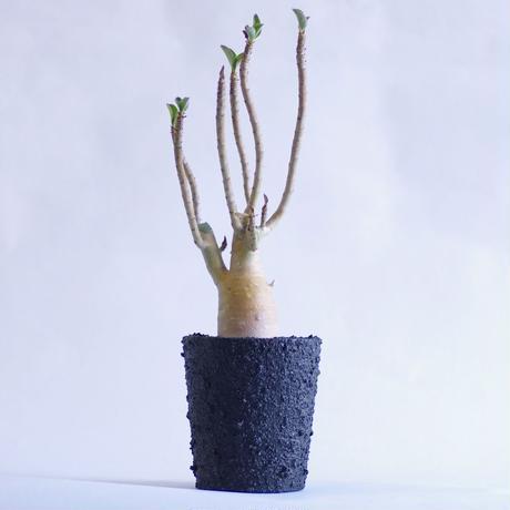アデニウム アラビアカム Adenium arabicum
