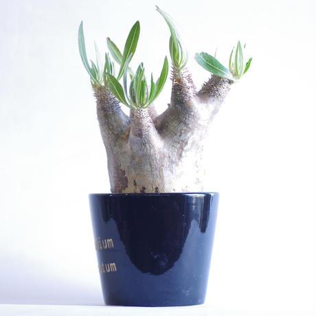 パキポディウム イノピナツム Pachypodium rosulatum var.inopinatum
