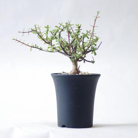 ケラリア フルチクローサ Ceraria fruticulosa