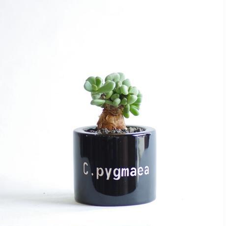 ケラリア ピグマエア Ceraria pygmaea