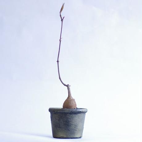 ペトペンチア ナタレンシスPetopentia natalensis