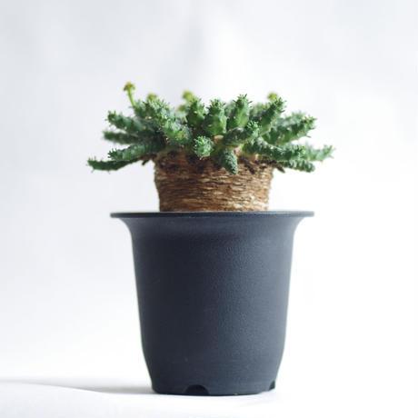 ユーフォルビア ゴルゴニス 金輪際 Euphorbia gorgonis