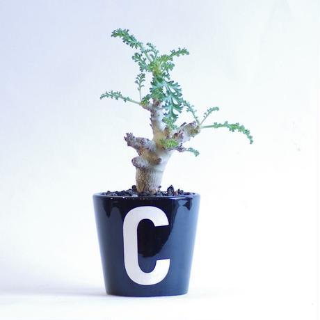 ペラルゴニウム カルノーサム 枯野葵 Pelargonium carnosum
