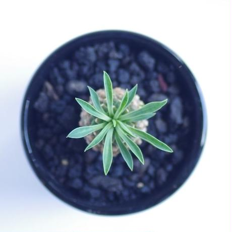 ユーフォルビア 蘇鉄麒麟 ソテツキリン Euphorbia bupleurifolia
