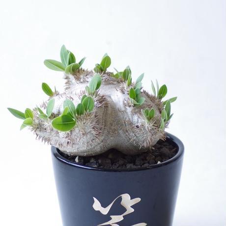 パキポディウム ブレビカウレ 恵比寿笑いPachypodium brevicaule
