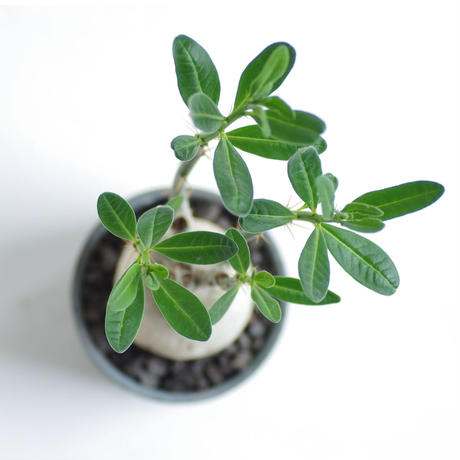 パキポディウム サキュレンタム Pachypodium succulentum