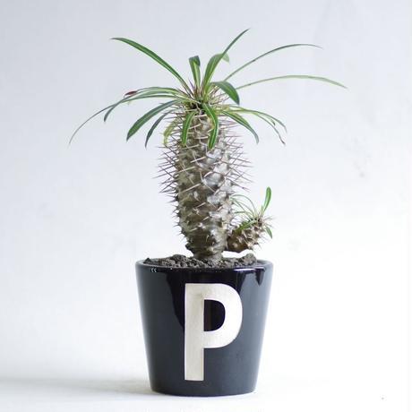 パキポディウム ラメリー Pachypodium lamerei